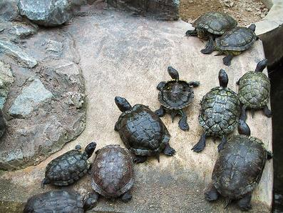 Turtles on Parade