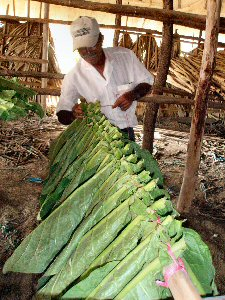 Worker hanging tobacco leaves